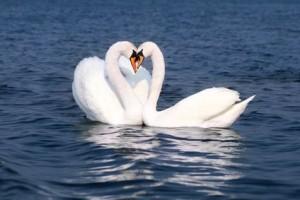 Cisnes Corazón